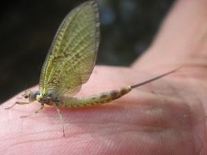 Perfectionnement pêche à la mouche en sèche